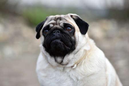 Photo pour pug dog on the field - image libre de droit