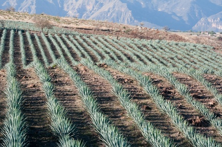Agave field in Tequila, Jalisco  Mexico