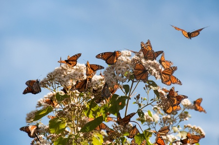 Monarch Butterfly Biosphere Reserve, Michoacan  Mexico