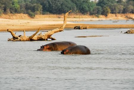 Hippos, North Lwanga National Park, Zambia