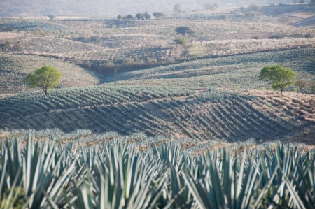Agave field in Tequila, Jalisco, Mexico