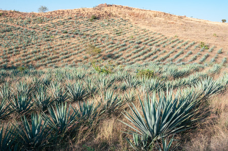 Agave fields in Tequila, Jal