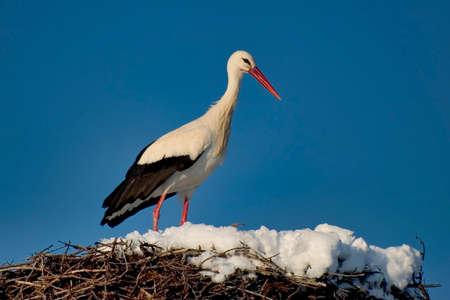 Photo pour White Stork in nest, Ciconia ciconia, Guadarrama National Park, Segovia, Castile and León, Spain, Europe - image libre de droit