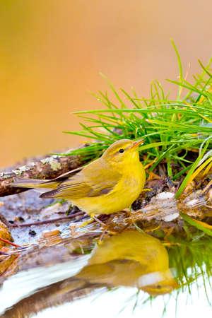 Photo pour Willow Warbler, Phylloscopus trochilus, Forest Pond, Mediterranean Forest, Castile and Leon, Spain, Europe - image libre de droit