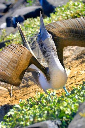 Photo pour Blue-footed Booby, Sula nebouxii, Galapagos National Park, Galapagos Islands,Ecuador, America - image libre de droit