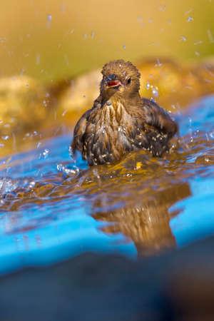Photo pour Starling, Sturnus vulgaris, Forest Pond, Mediterranean Forest, Castile and Leon, Spain, Europe - image libre de droit