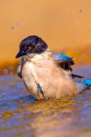 Photo pour Azure-winged Magpie, Cyanopica cooki, Forest Pond, Mediterranean Forest, Castile and Leon, Spain, Europe - image libre de droit