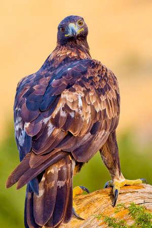 Photo pour Golden Eagle, Aquila chrysaetos, Mediterranean Forest, Castile and Leon, Spain, Europe - image libre de droit