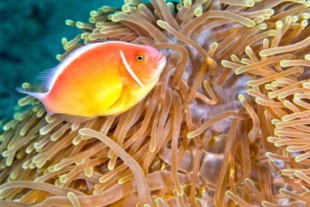 Photo pour Pink Anemonefish, Amphiprion perideraion, Magnificent Sea anemone, Ritteri anemone, Heteractis magnifica, Lembeh, North Sulawesi, Indonesia, Asia - image libre de droit