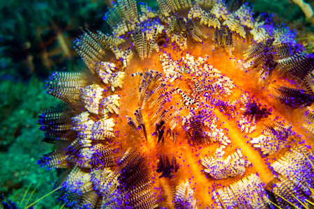 Photo pour Sea Urchin, Variable Fire Urchin, Asthenosoma varium, Coral Reef, Lembeh, North Sulawesi, Indonesia, Asia - image libre de droit
