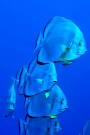 Photo pour Circular batfish, Platax orbicularis, Coral Reef, Red Sea, Egypt, Africa - image libre de droit