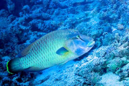 Photo pour Humpback Wrasse, Cheilinus undulatus, Coral Reef, Red Sea, Egypt, Africa - image libre de droit