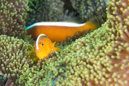 Photo pour Orange Skunk Clownfish, Amphiprion sandaracinos, Magnificent Sea anemone, Ritteri anemone, Heteractis magnifica, Lembeh, North Sulawesi, Indonesia, Asia - image libre de droit