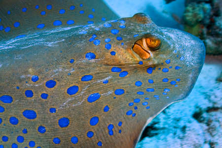 Photo pour Blue spotted Ribbontail Ray, Taeniura lymma, Coral Reef, Red Sea, Egypt, Africa - image libre de droit