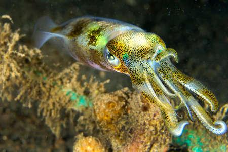 Photo pour Reef Squid, Lembeh, North Sulawesi, Indonesia, Asia - image libre de droit