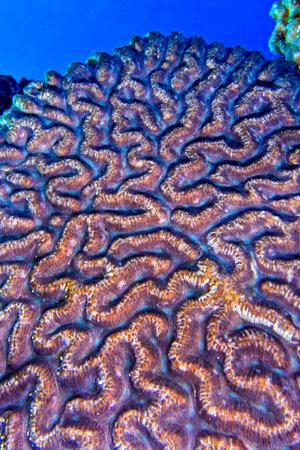Photo pour Brain Coral, Stony coral, Coral Reef, Bunaken National Marine Park, Bunaken, North Sulawesi, Indonesia, Asia - image libre de droit