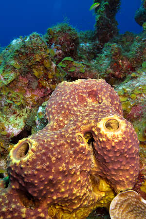 Photo pour Tube Giant Sponge, Coral Reef, Caribbean Sea, Playa Giron, Cuba - image libre de droit