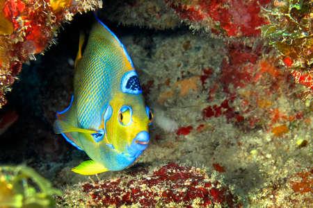 Photo pour Queen Angelfish, Holacanthus ciliaris, Coral Reef, Caribbean Sea, Playa Giron, Cuba, America - image libre de droit