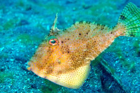 Photo pour Filefsh, Fan-belly Leatherjacket, Monacanthus chinensis, Lembeh, North Sulawesi, Indonesia, Asia - image libre de droit