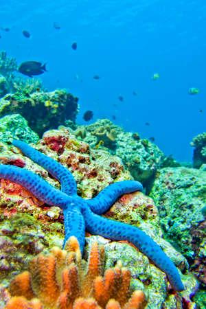 Photo pour Blue Sea Star, Unckia laaevigata, Starfish, Lembeh, North Sulawesi, Indonesia, Asia - image libre de droit