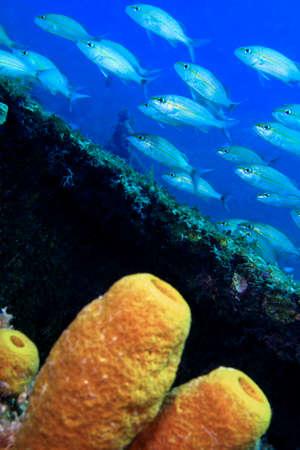 Photo pour Yellow Tube Sponge, Coral Reef, Caribbean Sea, Playa Giron, Cuba - image libre de droit