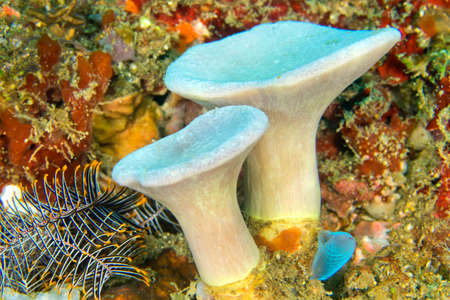 Photo pour Leather Coral, Soft Coral, Lembeh, North Sulawesi, Indonesia, Asia - image libre de droit