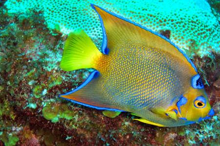 Photo pour Queen Angelfish, Holacanthus ciliaris, Coral Reef, Caribbean Sea, Playa Giron, Cuba - image libre de droit