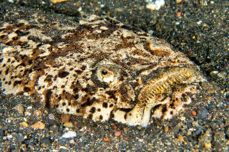 Photo pour Marbled Stargazer, Uranoscopus bicinctus, Lembeh, North Sulawesi, Indonesia, Asia - image libre de droit