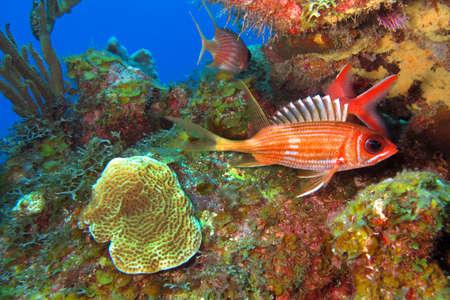 Photo pour Longspine Squirrelfish, Holocentrus rufus, Coral Reef, Caribbean Sea, Playa Giron, Cuba - image libre de droit