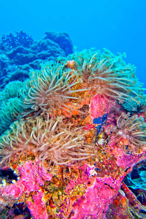 Photo pour Stony Coral, Branching Coral, Reef Building Coral, Coral Reef, Bunaken National Marine Park, Bunaken, North Sulawesi, Indonesia, Asia - image libre de droit