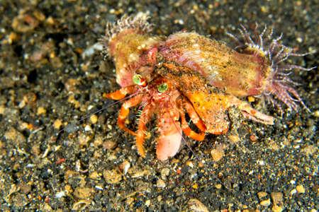 Photo pour Anemone Hermit Crab, Dardanus pedunculatus, Left-handed Hermit Crab, Lembeh, North Sulawesi, Indonesia, Asia - image libre de droit