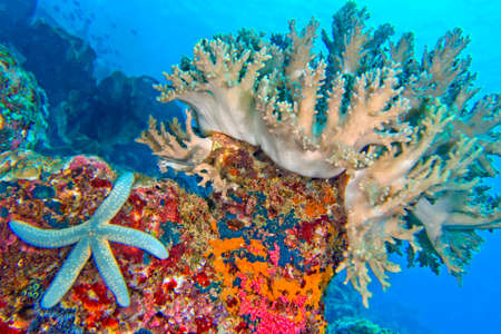Photo pour Hard Coral, Blue Sea Star, Unckia laaevigata, Starfish, Coral Reef, Lembeh, North Sulawesi, Indonesia, Asia - image libre de droit
