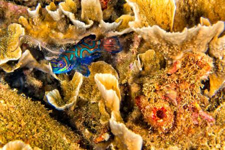 Photo pour Mandarin-fish, Pterosynchiropus splendidus, Dragonet, Bunaken National Marine Park, Bunaken, North Sulawesi, Indonesia, Asia - image libre de droit