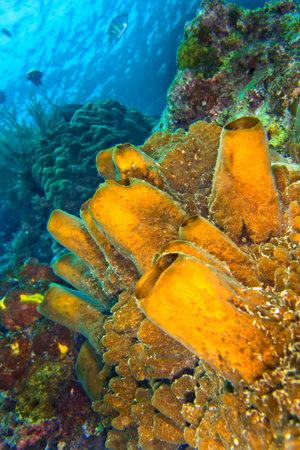 Photo pour Tube Sponge, Coral Reef, Lembeh, North Sulawesi, Indonesia, Asia - image libre de droit