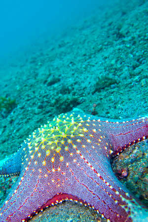 Photo pour Sea Star, Red tubercled Sea Star, Pentaceraster sp., Lembeh, North Sulawesi, Indonesia, Asia - image libre de droit
