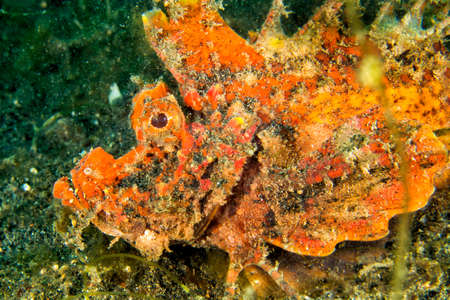 Photo pour Devil Stinger, Spiny Devilfish, Inimicus didactylus, Lembeh, North Sulawesi, Indonesia, Asia - image libre de droit