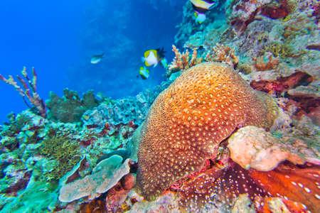 Photo pour Stony Coral, Boulder Coral, Reef Building Coral, Stony Coral, Branching Coral, Bunaken National Marine Park, Bunaken, North Sulawesi, Indonesia, Asia - image libre de droit