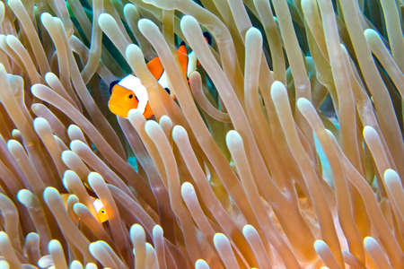 Photo pour Western Clownfish, Amphiprion ocellaris, Clownfish, Anemonefish, Damselfish, Lembeh, North Sulawesi, Indonesia, Asia - image libre de droit