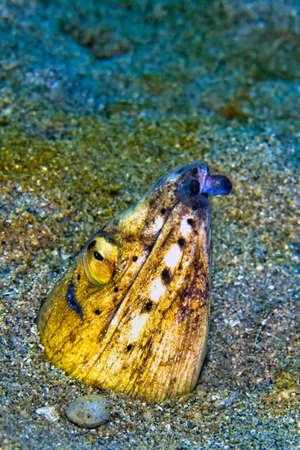 Photo pour Black-finned Snake Eel, Ophichthus melanochir, Lembeh, North Sulawesi, Indonesia, Asia - image libre de droit