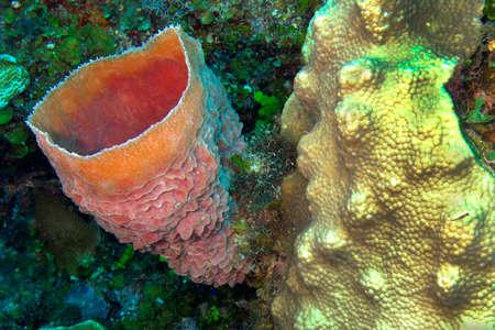 Photo pour Tube Giant Sponge, Coral Reef, Caribbean Sea, Playa Giron, Cuba, America - image libre de droit