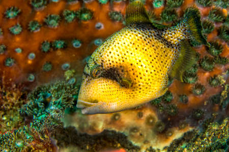 Photo pour Titan Triggerfish, Balistoides viridescens, Lembeh, North Sulawesi, Indonesia, Asia - image libre de droit