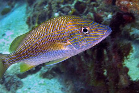 Photo pour White Grunt, Common Grunt, Haemulon plumierii, Coral Reef, Caribbean Sea, Playa Giron, Cuba - image libre de droit