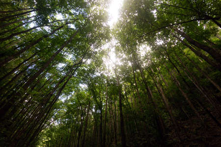 Photo pour Mahogany Man-Made Forest in Bilar, Bohol, Philippines. Sun rays shine through canopy - image libre de droit