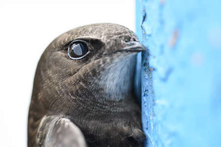 The Common Swift (Apus apus) is the swift which is more abundant in the cities and towns of Europe