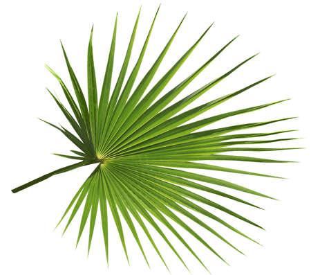 Photo for Palm tree leaf isolated on white background - Royalty Free Image