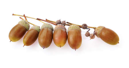 acorns oak isolate on white background