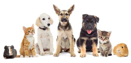 Photo pour Set pets, Puppy and kitten and guinea pig - image libre de droit