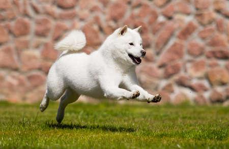 Foto de hokkaido dog quickly runs - Imagen libre de derechos