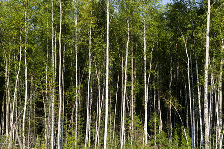 Foto de Birch trees in bright sunshine in late summer. Trees in a forest. birch trees trunks - black and white natural background. birch forest in sunlight in the morning - Imagen libre de derechos