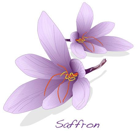 Illustration pour Saffron flower set. Vector isolated. - image libre de droit